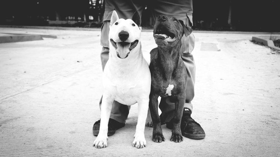 """""""Creo en la integridad. Los perros la tienen. Los humanos, a veces, carecen de ella"""". – Cesar Millán, adiestrador Bullterrieringles My Dog Blackandwhite Bullterrier I Love My Dog Muza Photography"""