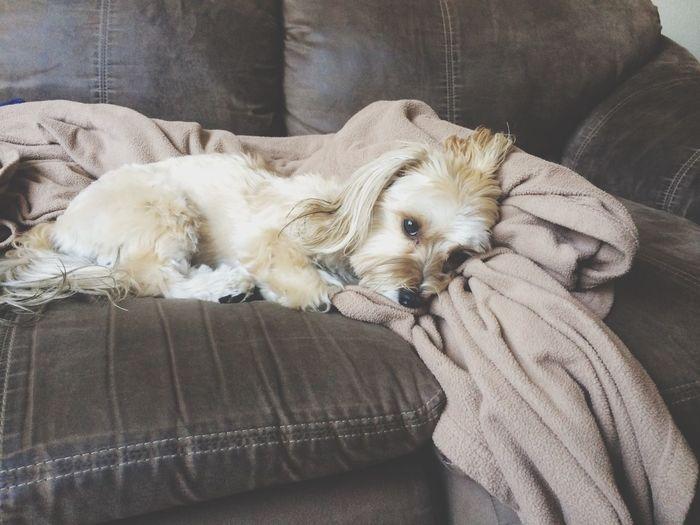 Puppy couch dog morkie cute sleepy yorkie Maltese small First Eyeem Photo
