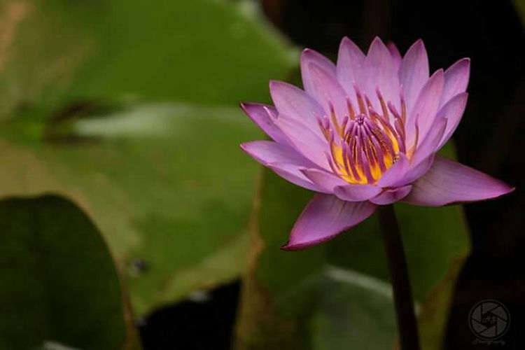 From the dirtiest of water rises the most beautiful flower..!!! Nature Lotus Hubli India