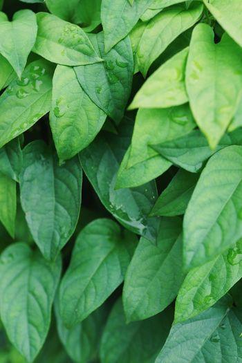 梅雨の葉 Leaf Plant