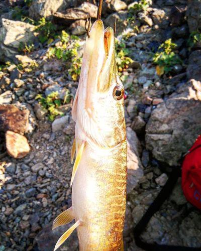 Pike Pikefishing Turna Balıkçılık