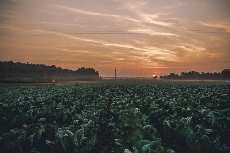 Scenic view of cabbage field during sunset