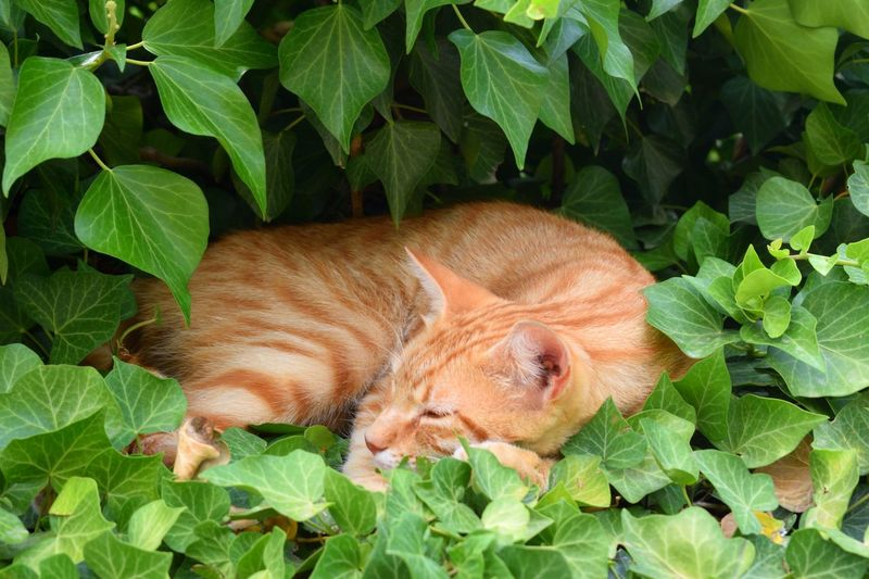 cat sleeping in the ivy Domestic Pets Lovely Pet Domestic Cat One Animal Cute Pets Cute Orange Cat Animal Themes Animal Pet Sleeping Sleeping Cat Ivy Cat