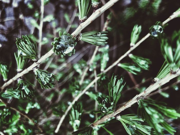 Larix Larix Decidua Larch Larch Tree Macro Raindrops Drop Needles Showcase April Green