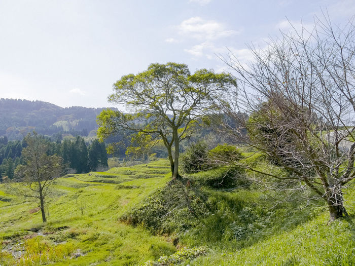 Japanese paddy