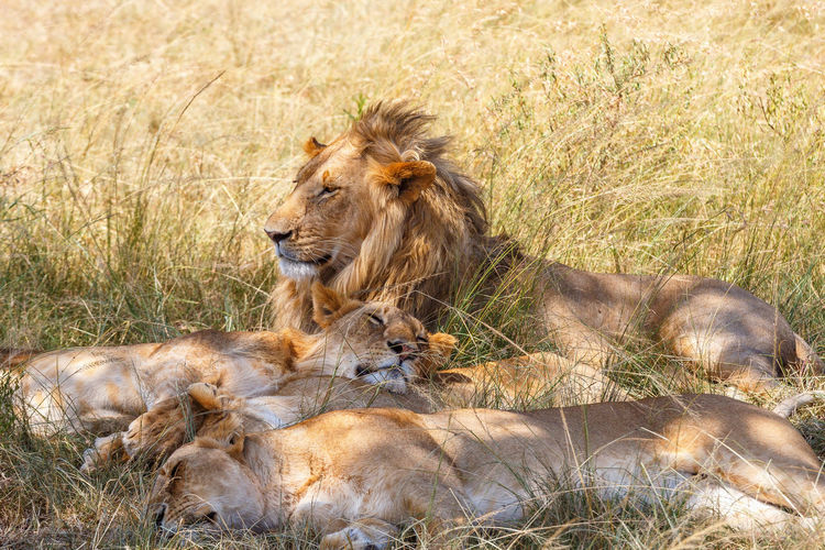 Lion family resting in the high grass