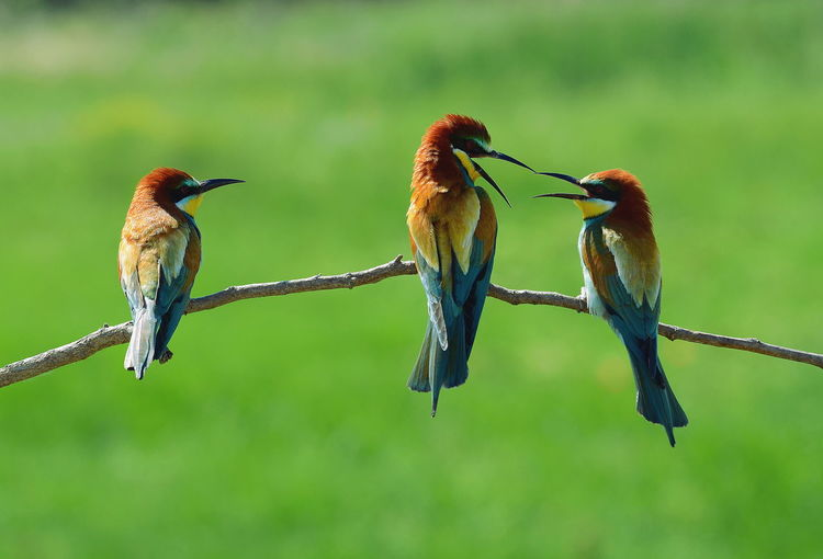 Close-up of bee-eaters perching on stick