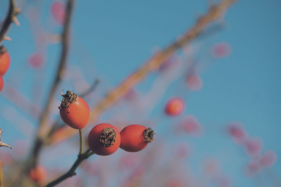 rosehips Fruit Food And Drink Growth Outdoors No People Day Focus On Foreground Close-up Nature Tree Food Freshness Beauty In Nature Sky Rosehips Berry Fruit Autumn Colors Berries Collection Rosehip Flower Berry Rosehip Beauty In Nature Freshness Autumn Fall