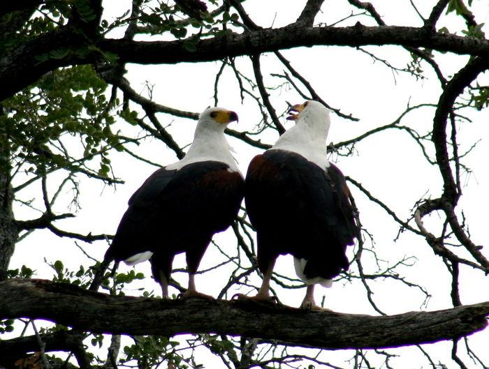 African Beauty Botswana Delta Fishing Eagle King Eagle Nature Photography Okawango Safari Wildlife & Nature Bicker Two Is Better Than One