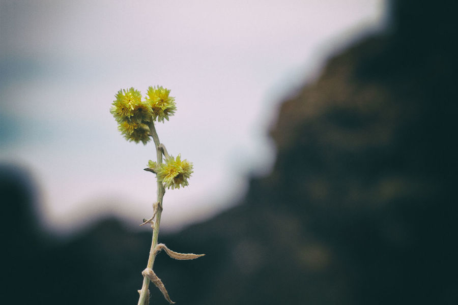 Close up of withered flowers near the Paricutin Volcano. Beauty In Nature Blooming Close-up Day Flower Flower Head Focus On Foreground Fragility Freshness Growth Nature No People Outdoors Petal Plant Sky Yellow