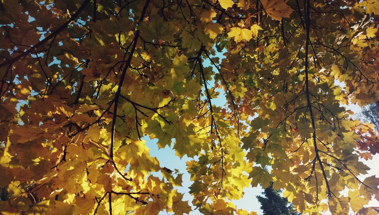leaf, tree, autumn, nature, growth, beauty in nature, branch, low angle view, outdoors, day, change, no people, tranquility, yellow, maple tree, backgrounds, scenics, fragility, freshness, sky, maple