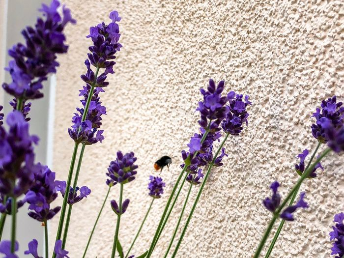 Bumblebee and Lavender on the balcony Bumble Bee Bumblebee On Flower Bumblebee Flower Flowering Plant Plant Purple Vulnerability  Fragility Beauty In Nature Growth Freshness Nature Lavender Sunlight Close-up Botany No People Petal Lavender Colored Day Flower Head Inflorescence