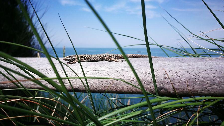 Lizard on wood amidst grass against sea