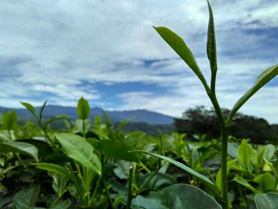 Tea 🌿🌱 Growth Plant Leaf Nature Green Color Close-up Freshness No People Outdoors Day Rural Scene Agriculture Beauty In Nature Scenics Sky Tea Crop Food