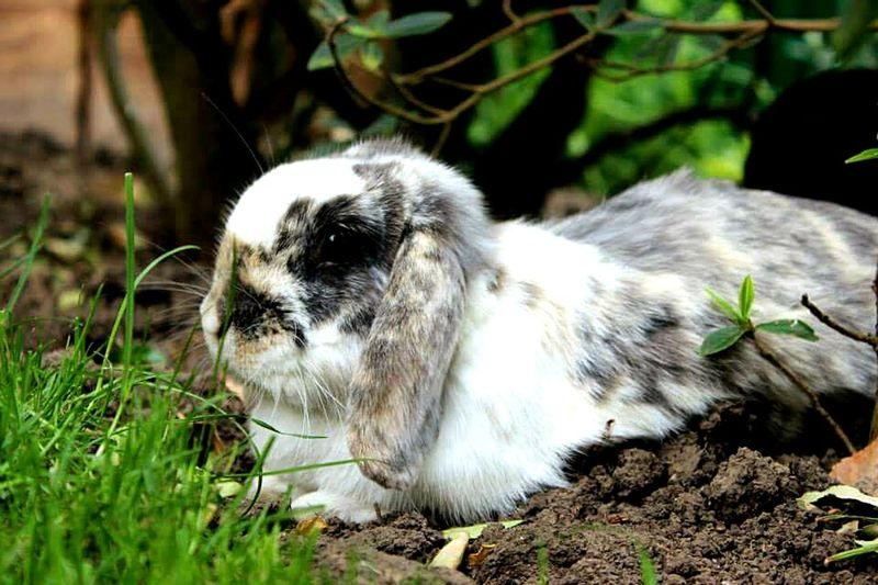 Animal Themes Mammal Grass One Animal Nature Outdoors Animal Wildlife Close-up Whisker Minilop Rabbit Portrait Rabbit Face Rabbit Domestic Animals Pets