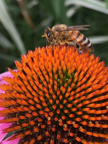 Bee Honey Bee Coneflower Flower And Bee Coneflower And Bee Bee Close Up Bee Close-up