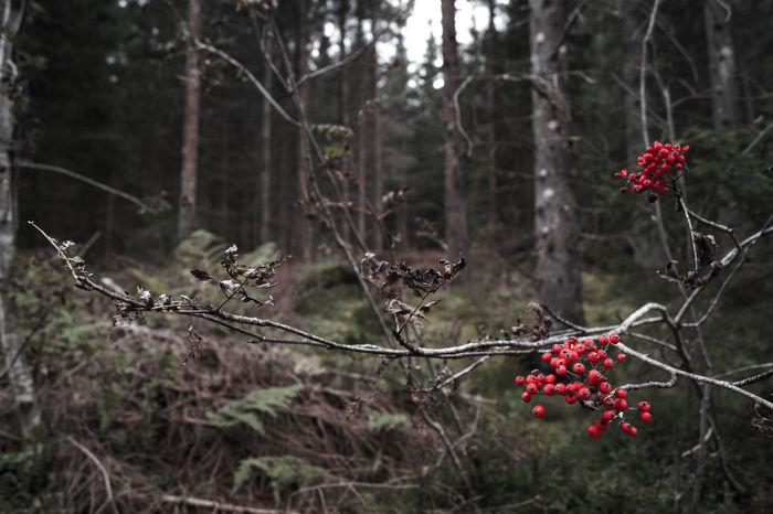Rowan Rowanberries Redberries Berries Winter Trees Nature Focus On Foreground Forest Wanderlust Autumn Sony Sonyalpha Sony A58