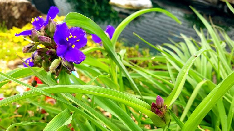 Spiderwort My Koi Pond Flower Plant Green Color Nature Focus On Foreground Outdoors Day Leaf Close-up No People Fragility Beauty In Nature Freshness Flower Head The Purist (no Edit, No Filter) Freshness Art Is Everywhere
