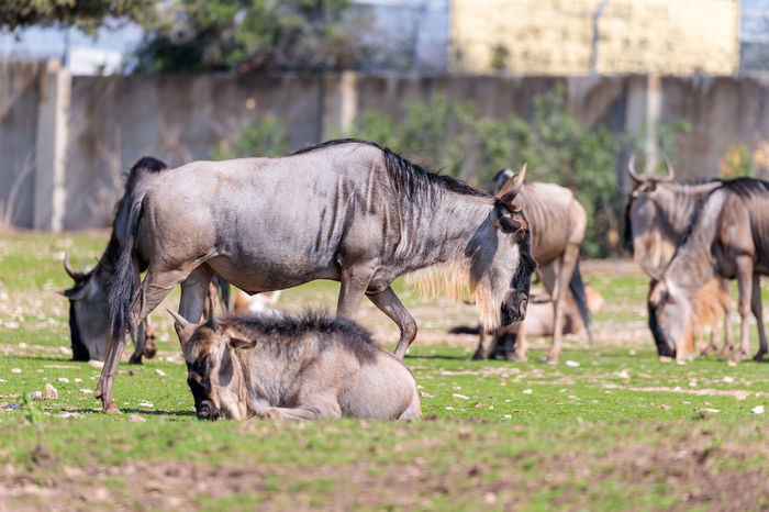 The herd of wildebeest, also called gnus (Connochaetes) looking for food on the ground Business National Ramat Gan - Tel Aviv Travel View Zoo Adaptation Animal Themes Attraction Biology Conservation Day Environment Israel Landscape Mammal Nature Park Population Reserve Safari Savanna Scene Tourism Wildlife