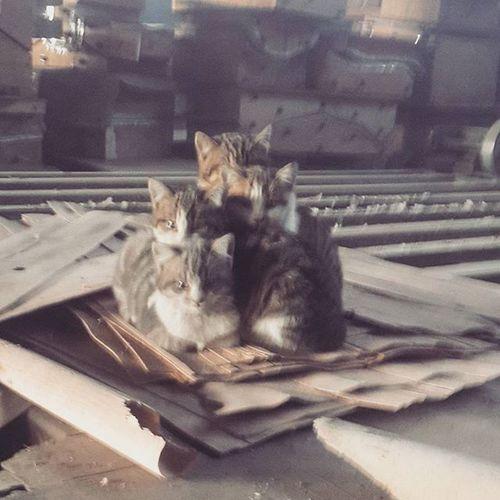 Kedi Bolu  Soguk Akmankontraplak Kediailesi