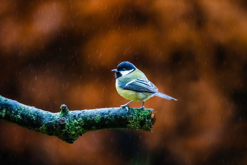 Close-up of bird perching on a tree in rain against autumn leafs