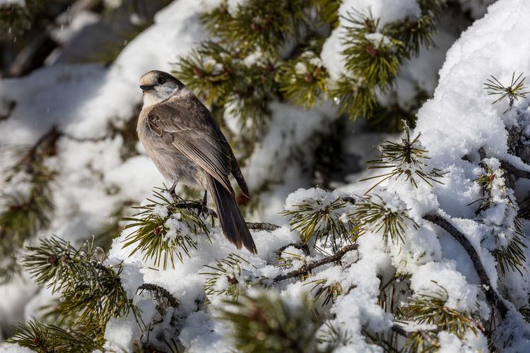 Canada jay perisoreus canadensis perched on a snow covered tree