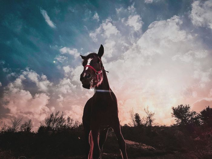 Low angle view of horse standing against cloudy sky during sunset