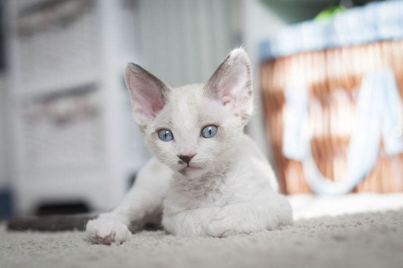 cute little blue-eyed devon rex kitten is relaxing on a carpet Kitten Baby Kitty Carpet Home Cat Pet Floor Cozy Comfortable Care Cute Meow Devon Rex Fur Fluffy Velveteen Animal Sleepy Sleeping Relax Rest Blue Eyed Domestic Pets Domestic Animals Mammal Domestic Cat Feline One Animal Portrait Looking At Camera Vertebrate Focus On Foreground Relaxation White Color No People Selective Focus Day Whisker Animal Eye