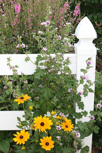 Beauty In Nature Black Eyed Susans Blooming Close-up Day Fence Flower Flower Head Flowers Through Fence Fragility Freshness Growth Nature No Filter No Edit No People Outdoors Petal Plant Springtime White Color White Fence Sommergefühle
