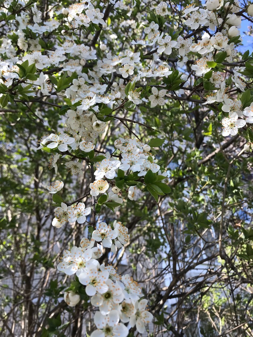 LOW ANGLE VIEW OF WHITE FLOWERING TREE IN SPRING
