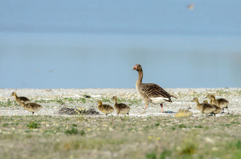 Animal Themes Animal Wildlife Animals In The Wild Anser Anser Bird Gosling Greylag Goose Lake Nature Neusiedler See Sping Springtime Water Wildlife