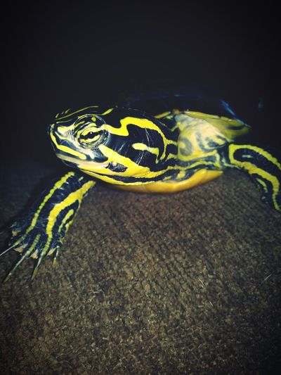 Reptile Animal Wildlife Animals In The Wild Animal Themes One Animal Yellow No People Nature Close-up Day Indoors  Gold Colored Animal Turtle Turtles Yellow Belly Slider Turtle Love Turtle Power Turtle 🐢 Shiny Nature Reptile Night Black Background Indoors