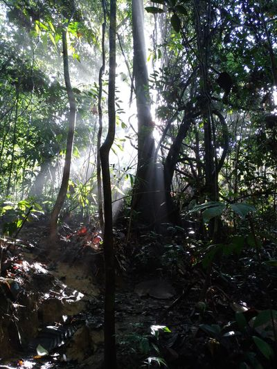 Malaysia Forest Sunrays Through The Branches Beauty In Nature Forest Nature Sun Ray Through The Tree Sun Rays Behind The Tree Tranquility Treking Nature Photography