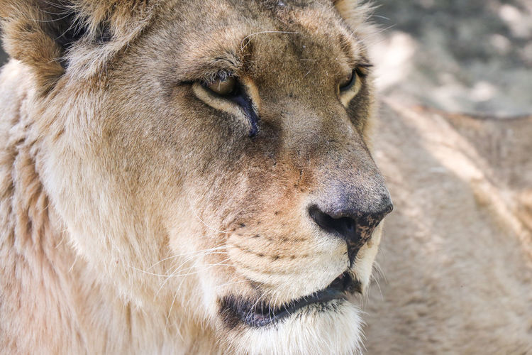 portrait of a lion Mammal Animal Themes Animal One Animal Animal Wildlife Animals In The Wild Cat Feline Lion - Feline Close-up Animal Body Part Animal Head  Vertebrate Big Cat Focus On Foreground Carnivora No People Looking Day Whisker Lion