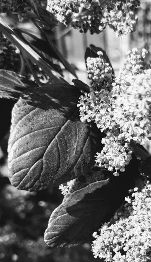Flowering Plant Sunlight And Shadow Leaves Black And White Photography Flower Close-up Plant Blooming Flower Head