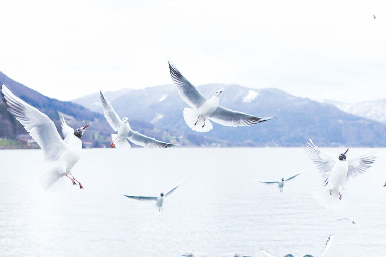 Here Belongs To Me Mondsee Austria Birds Lakes  Nature_collection