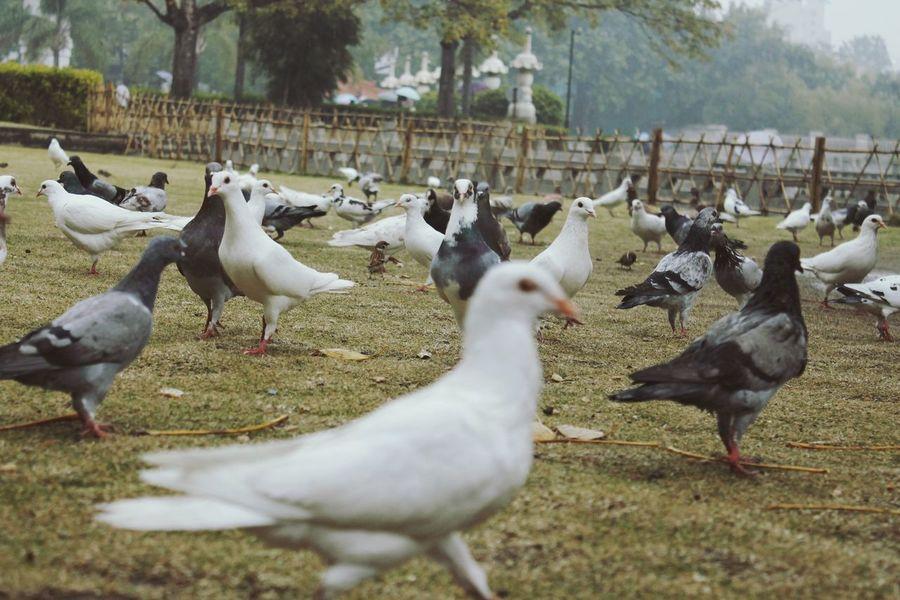 Pigeons Doves Birds