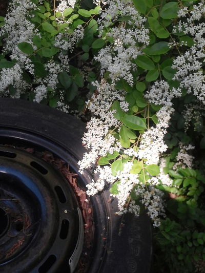 Flower Photography Wheel Tire Leafs Strange But Beautiful White Flowers Old Tire Taking Photos Check This Out Flower Collection Flowers Pretty