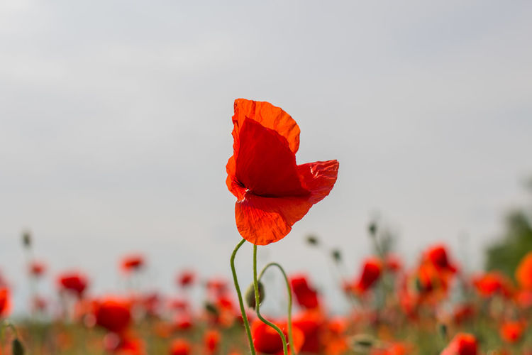 Red poppies blooming against sky