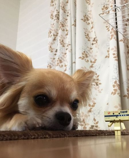 Dog Pets Domestic Animals One Animal Animal Themes Curtain Mammal Indoors  Home Interior Close-up Portrait No People Day Niko Chihuahua Family