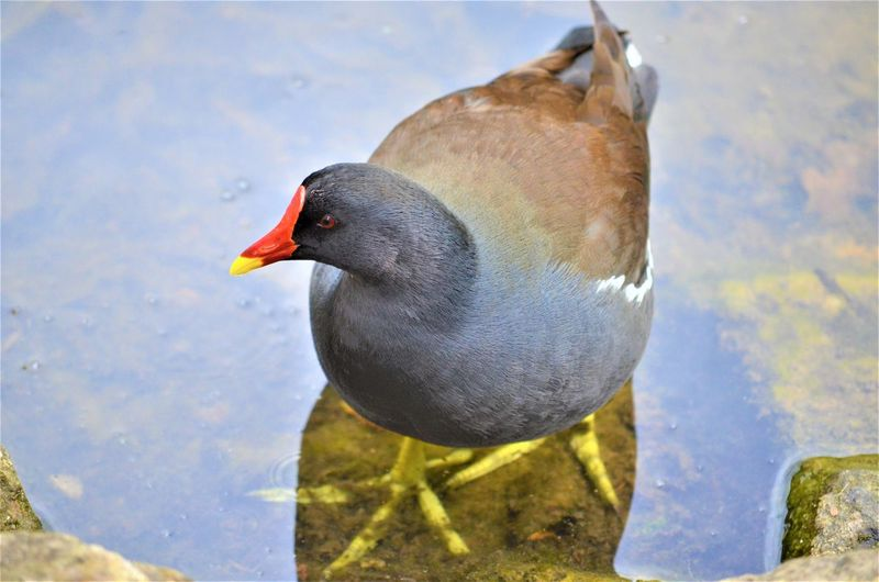 Bird Animal Themes Animal Vertebrate Animals In The Wild Animal Wildlife One Animal Water Day Lake Nature No People Close-up Focus On Foreground High Angle View Sunlight Outdoors Coot Reflection