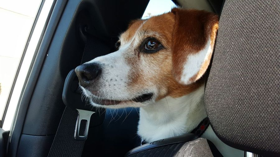 One Animal Dog Pets Domestic Animals Animal Themes Animal Head  Looking Away Mammal Close-up Snout Animal Nose Zoology Loyalty Emotion Intent Focus Pets Dogs Jackabee