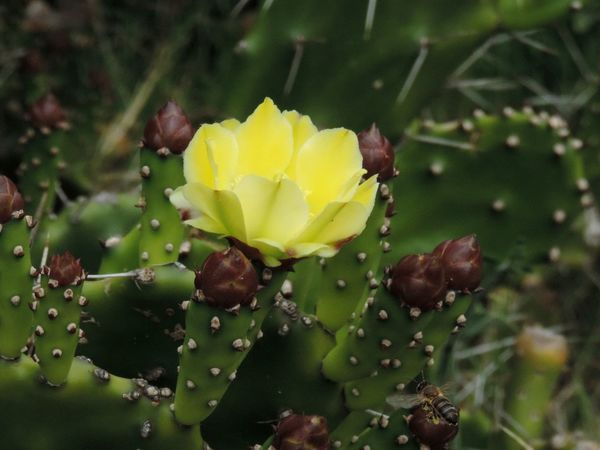 Cactus Flower Cactus Flower Bee Green Nature Photography Pic Picoftheday