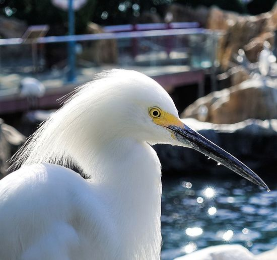 Bird One Animal Beak Animal Wildlife Animals In The Wild Animal Themes No People Close-up Nature Water Outdoors Day Great Egret