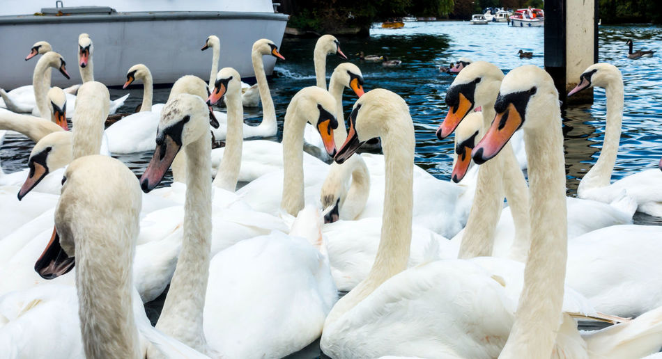 Swans on a river. Mute Swan Animal Animal Neck Animal Themes Animal Wildlife Animals In The Wild Beak Bird Close Up Day Flock Of Birds Group Of Animals Large Group Of Animals Mute Swan Nature No People River Swan Water Water Bird White Background White Color Wildfowl Zoology
