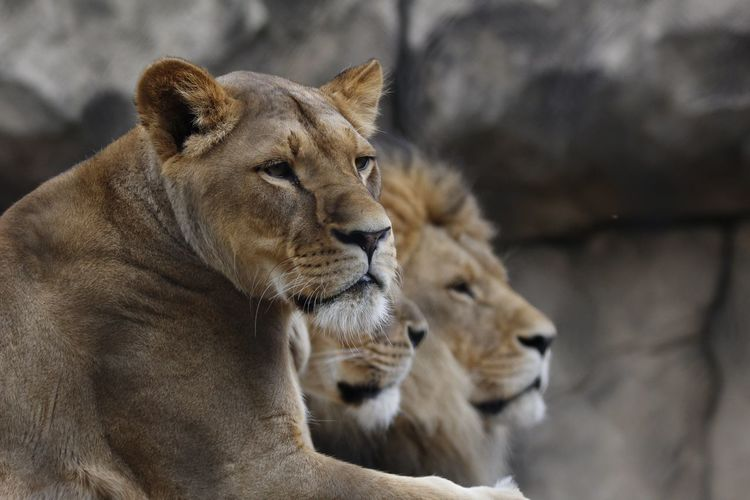 Lion family relaxing against rock