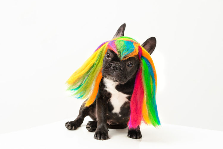 Happy Sunday!🐶 Rainbow Colors Rainbow Colours Rainbow Hair Frenchie French Bulldog Frenchbulldog Dog Pet Portrait Pets Multi Colored Representing Party - Social Event White Background Cute Portrait Canine Puppy Carnival - Celebration Event