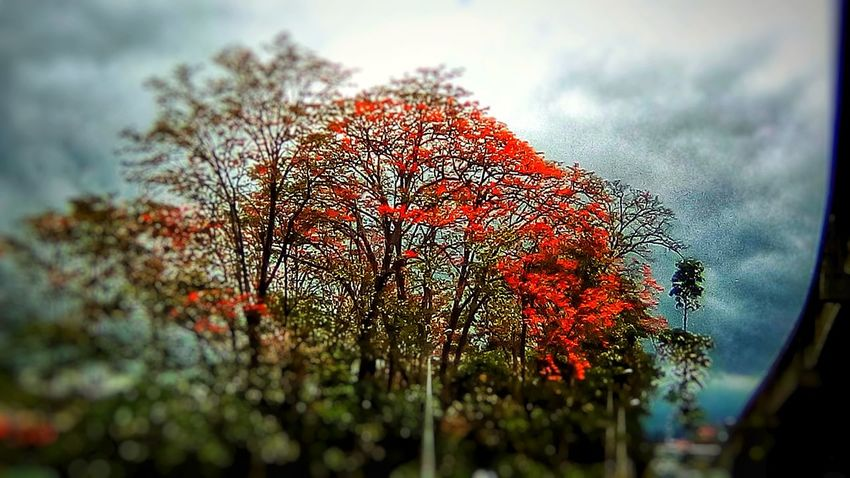 Flame of the forest.. Treesporn San Jose, Costa Rica Costa Rica Costa Rica 🇨🇷 Costa Rica❤ Tree_collection  Flowering Trees Flowering Tree EyeEm Best Shots EyeEm Nature Lover EyeEm Gallery Tree Sky Cloud - Sky