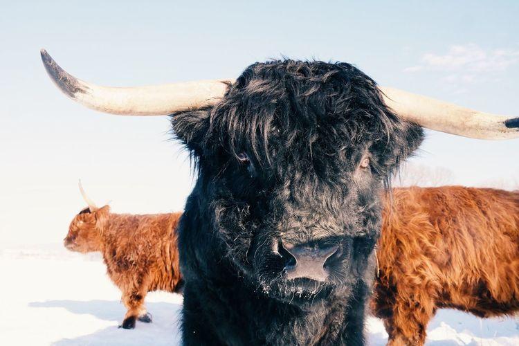 Bull on field against sky