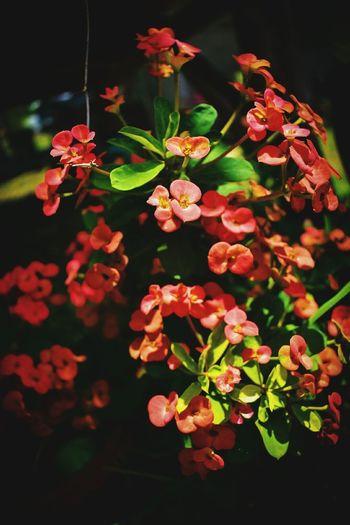 โป๊ยเซียนที่ปลูกเองออกดอกสวยแล้วนะ #Thailand #krabi #Phuket #Phuketcity Flower Head Flower Multi Colored Leaf Close-up Plant